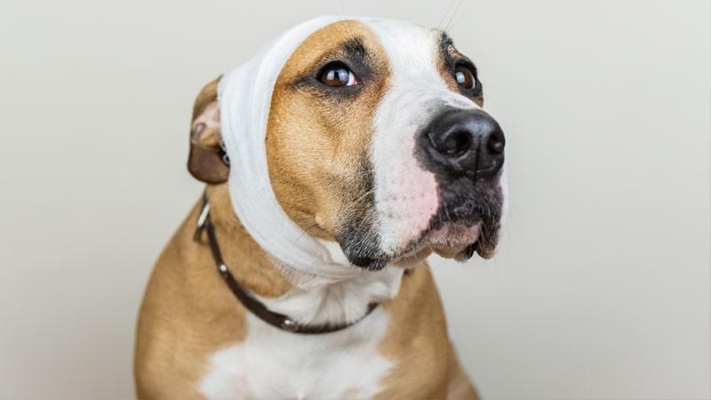Perro con la oreja vendada