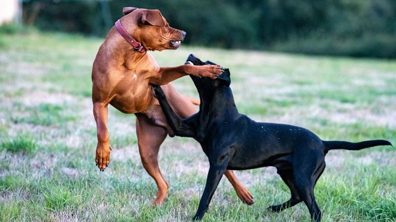 Perros agresivos peleando