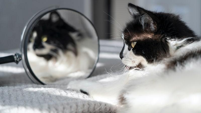 Gato frente a un espejo