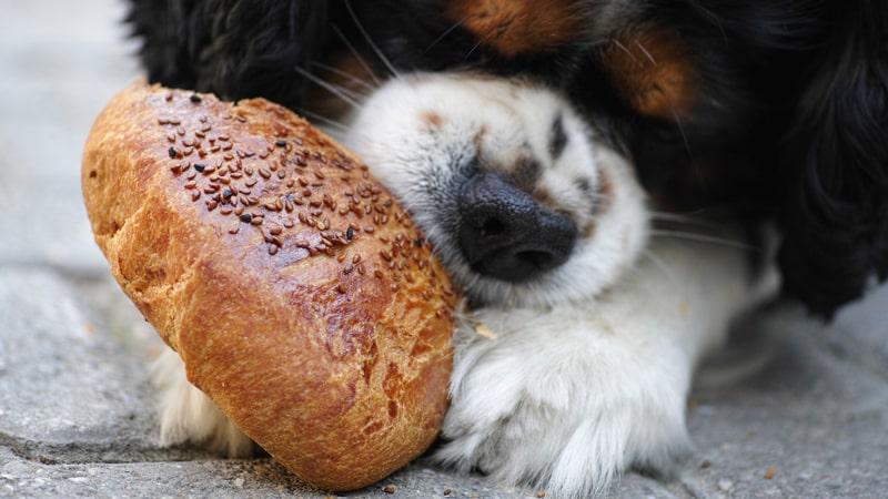 Perro comiendo un panecillo