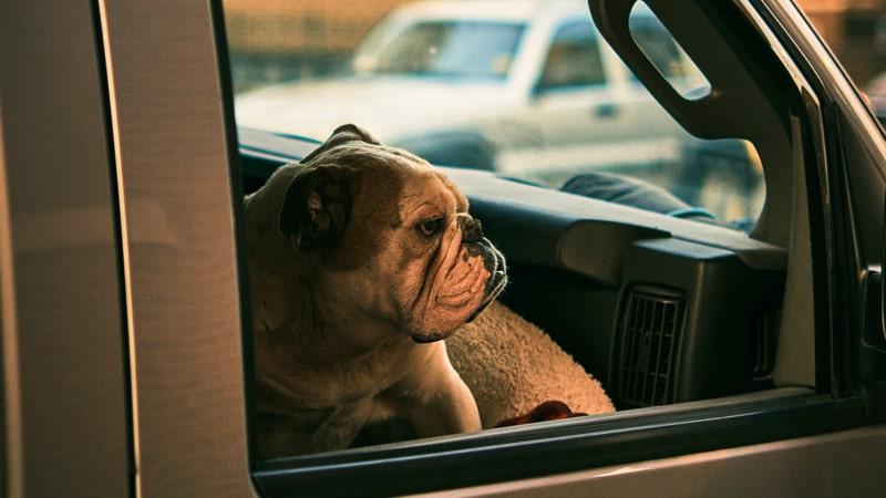 Perro bulldog en la ventanilla de un coche
