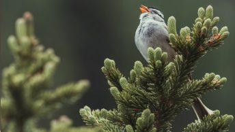Gorrión de corona blanca cantando en Canadá