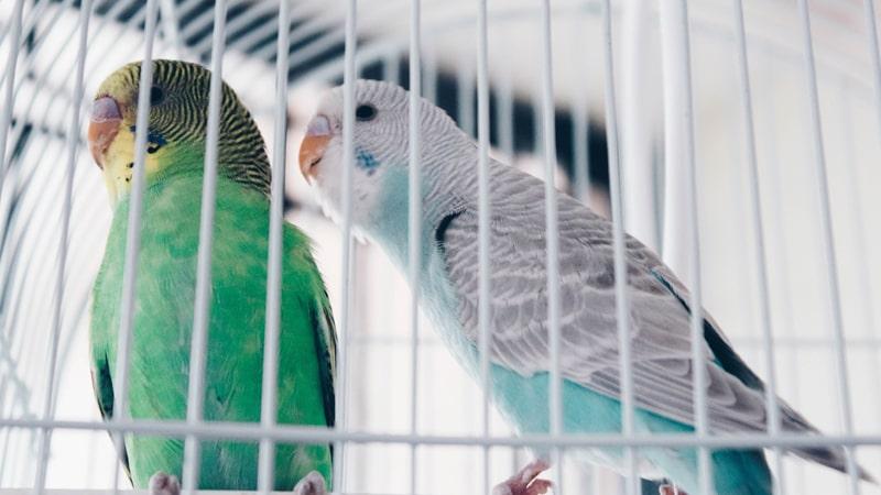 Periquitos en una jaula