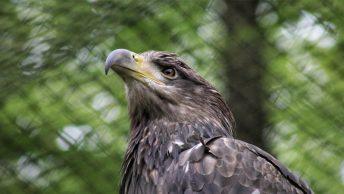 Águila recuperándose en un centro de rehabilitación