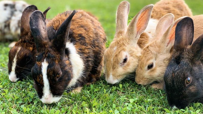 Grupo de conejos