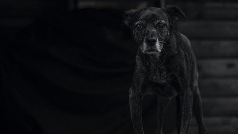 Perro envejecido