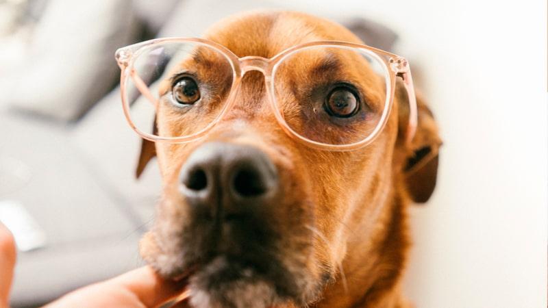 Perro labrador con gafas