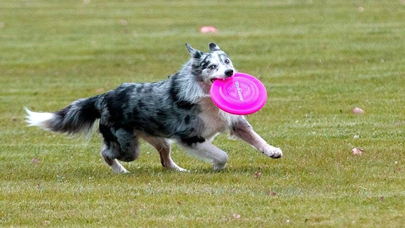Perro practicando dogfrisbee