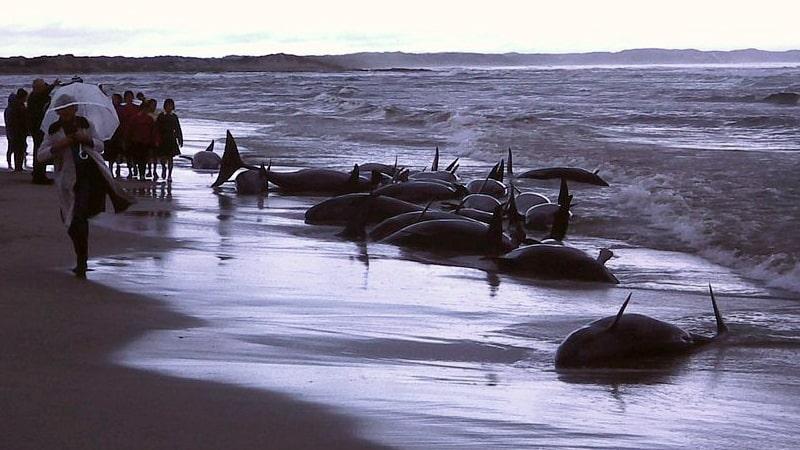 Varamiento de ballenas en Flinders Bay (Australia)