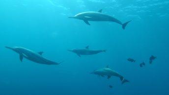 Delfines preparándose para cazar