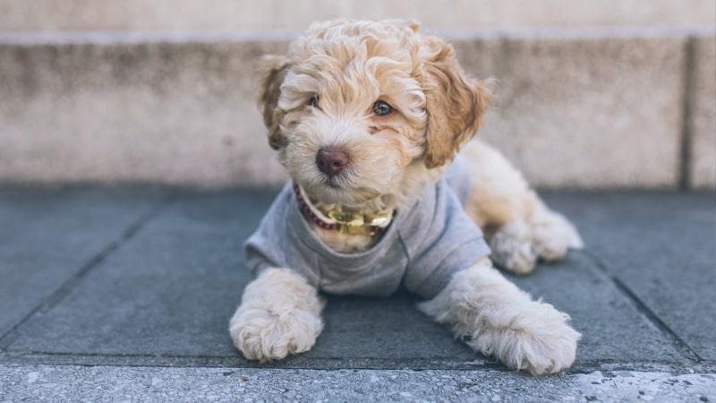 Perro con abrigo sentado en el suelo