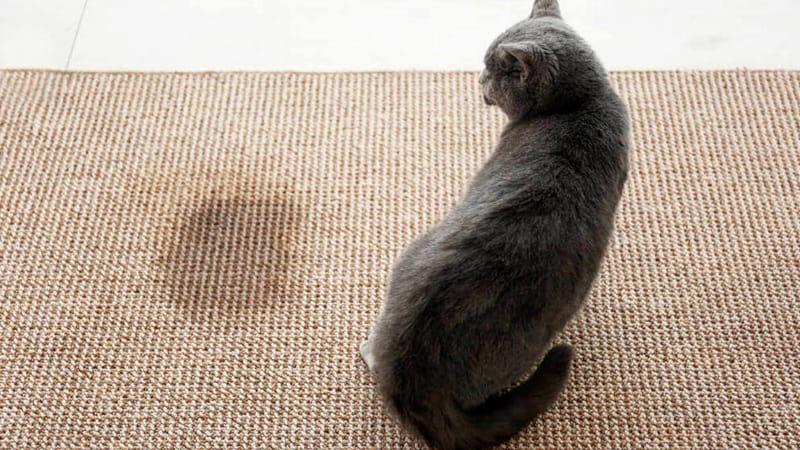 Gato tras orinar en la alfombra