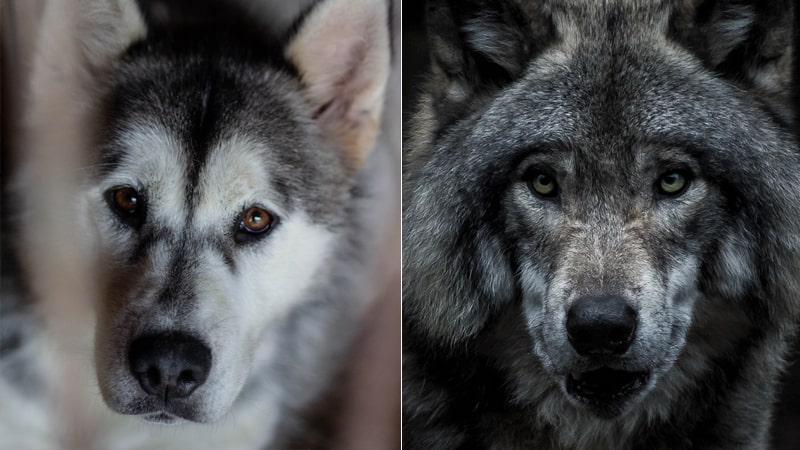 Comparativa lobo vs perro
