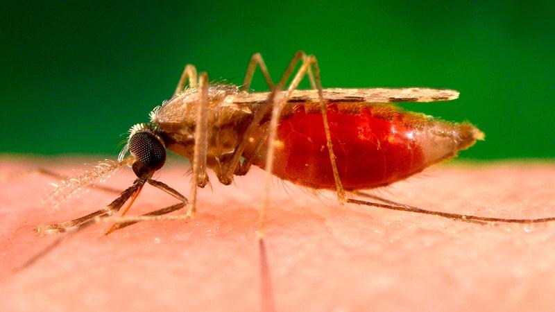 Mosquito de la leishmania