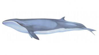 Dibujo de una ballena pigmea
