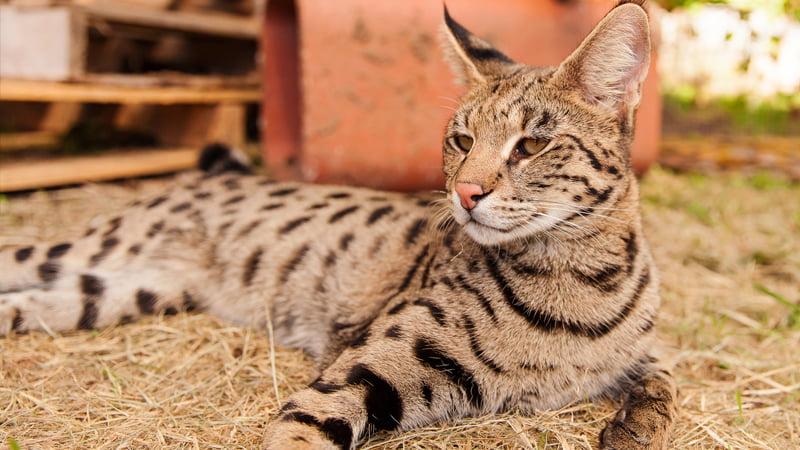Gato Savannah sentado sobre paja