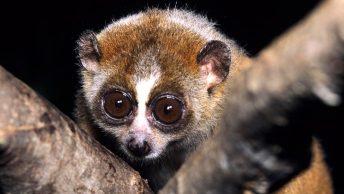 El primate venenoso Loris Pigmeo