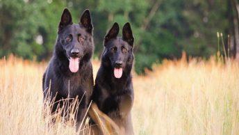Dos perros miran al frente en un campo