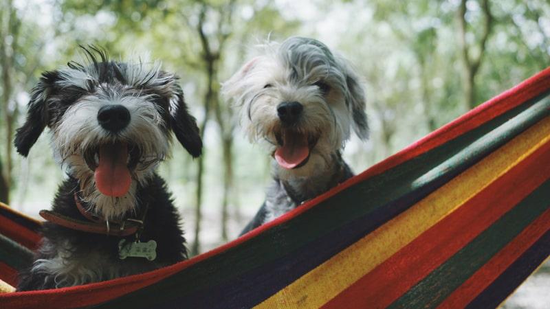 Dos perros Shih Tzu con calor