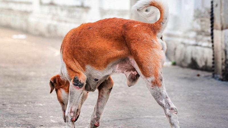 Perro con la pata amputada