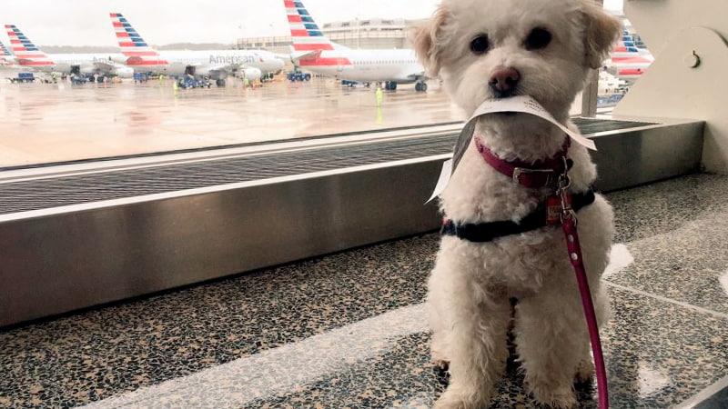 Perro en un aeropuerto esperando a embarcar en el avión