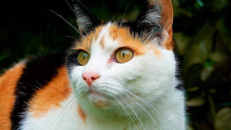 Gato de tres colores