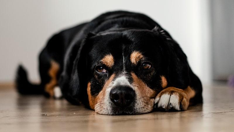 Perro mayor con artritis