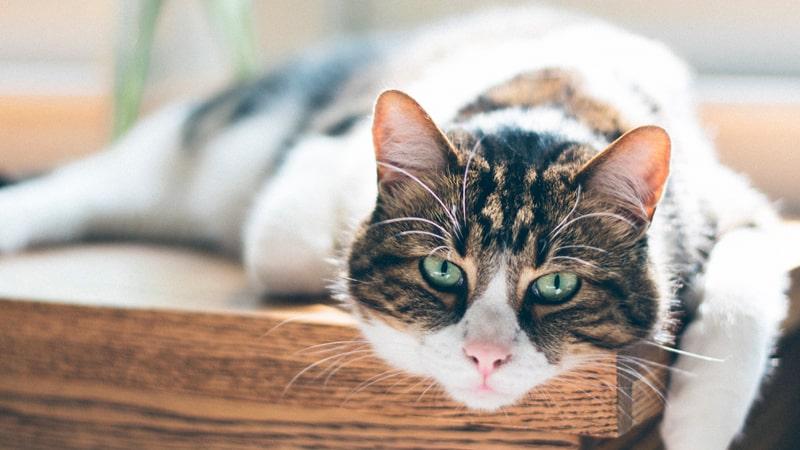Gato adulto mirando fijamente