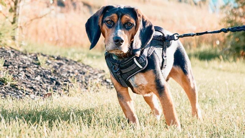 Perro paseando por donde hay garrapatas