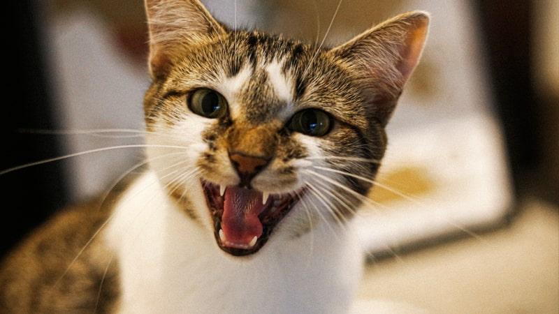 Gato enseñando los dientes