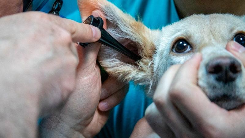 Perro con infección en la oreja