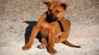 Perro se rasca porque tiene pulgas