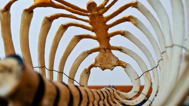 Imagen de la columna vertebral y las costillas