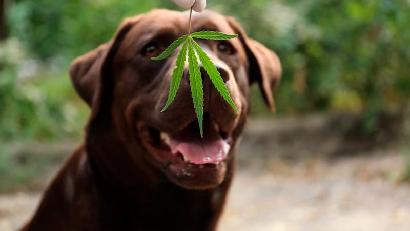 Perro con una hoja de marihuana delante