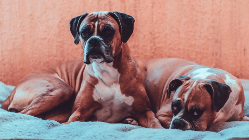 Dos perros de raza boxer