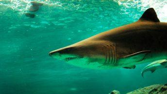 Tiburón durmiendo bajo el mar