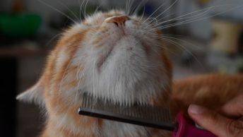 Peinando a gato en una peluquería