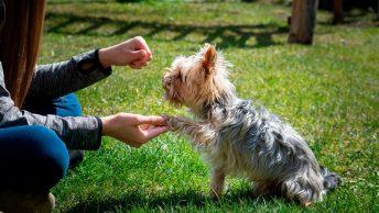 Adiestramiento a perro pequeño