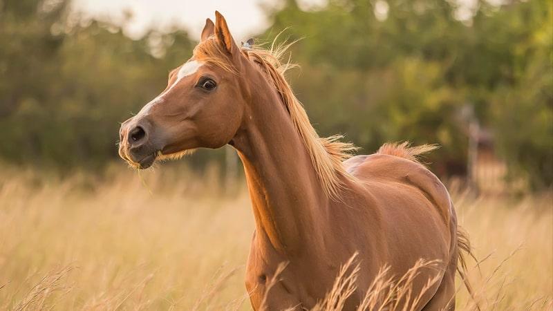 caballo-castano-min