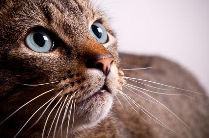 Bigotes-gato-CIMFormacion
