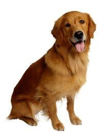 Golden-retriever-perros-poco-territoriales-CIM-Formacion