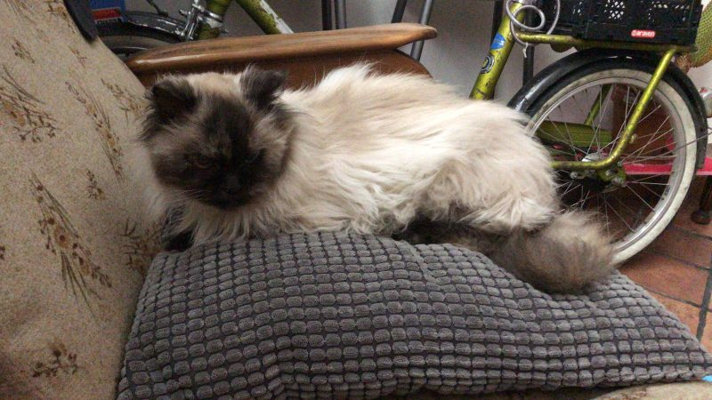 Kira, una gatita persa y siamesa de pelo largo 1