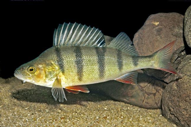 Perca-fluvialitis-CIMFormacion|larva-perca-CIMFormacion|perca-mar-baltico-CIMFormacion