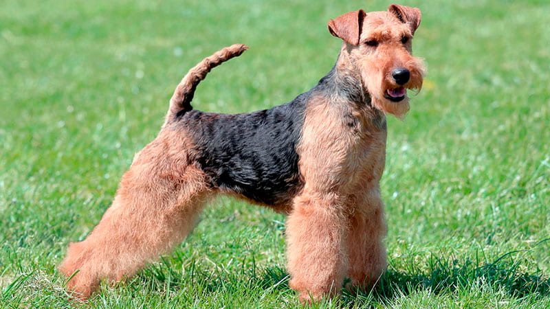 airedale-terrier-perro-min