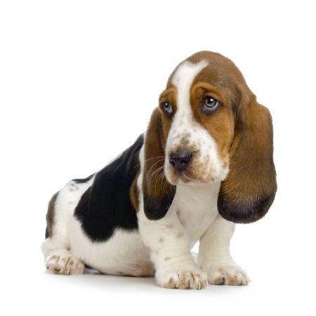 basset-hound-perros-poco-territoriales-CIM-Formacion