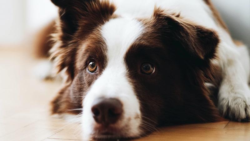 Diez razas de perros para niños 4