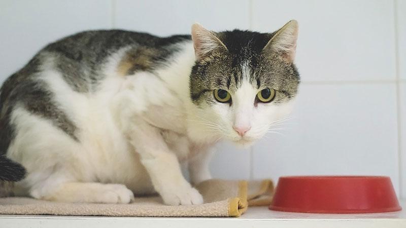 Boris, gato en la protectora de Mataró SPAM