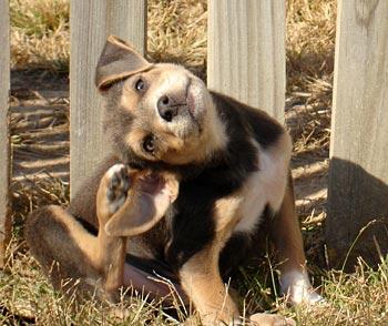 cachorro-rascandose-picor-CIMFormacion|perro-rascandose-CIMFormacion|gato-rascandose-CIMFormacion