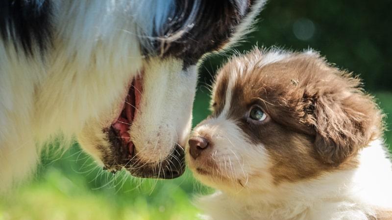 Cachorro con un perro adulto