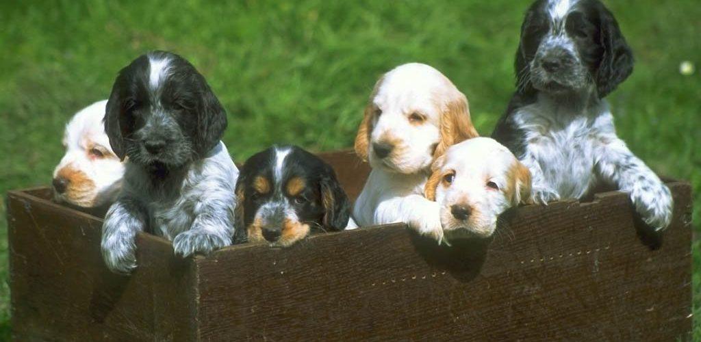 cachorros-cocker-CIMFormacion esterilizacion-perra-CIMFormacion